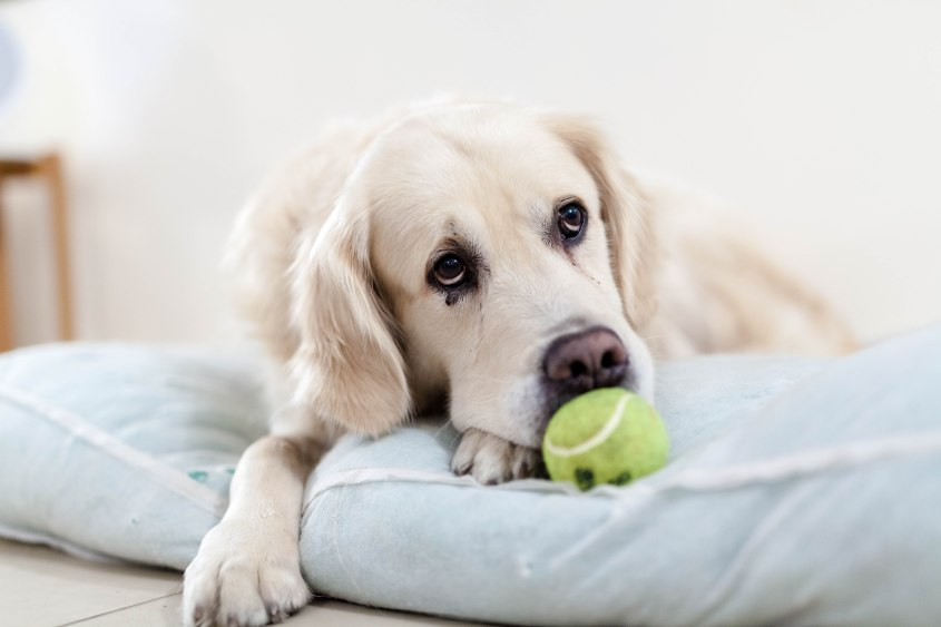 Photo of a dog with a tennis ball.
