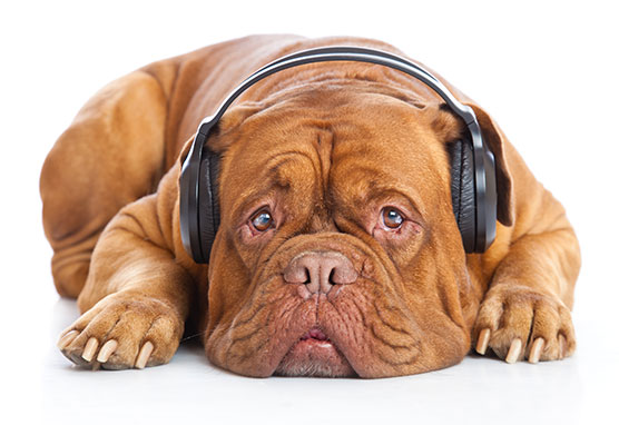 Photo of a dog wearing headphones